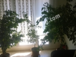 Üç saksıda beş kök büyük boy benjamin ağacı